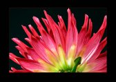 Dahlia, macro, ornamental plant, photo flower, photo plants, studio