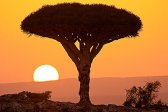 journey travel tour voyage, outdoor, panorama, photo landscape, photo nature, photo plants, Socotra islands, spring, summer, sun, sunset, tourism, tree, Trees, Yemen, SONY A-900, Dragon tree - Dracaena cinnabari,